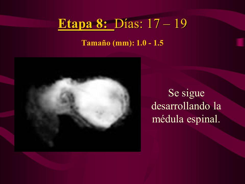 Etapa 8: Días: 17 – 19 Tamaño (mm): 1.0 - 1.5