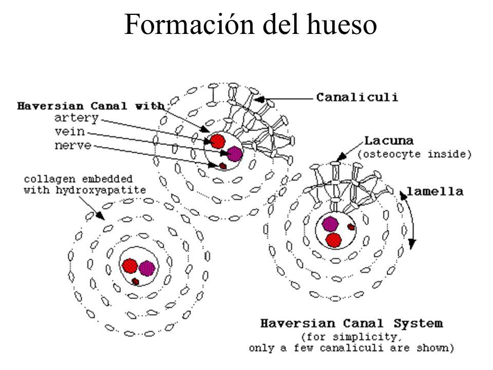 Formación del hueso