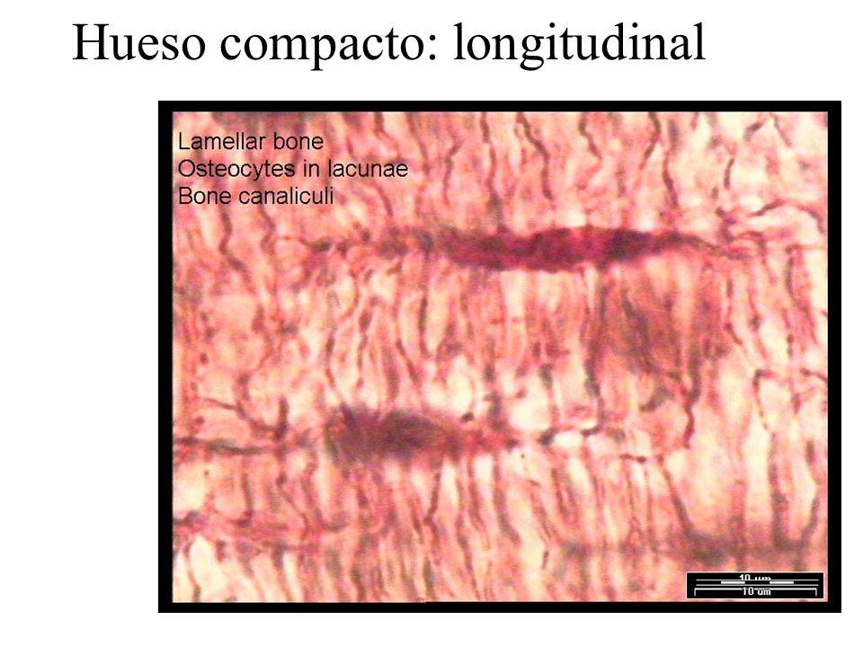 Hueso compacto: longitudinal