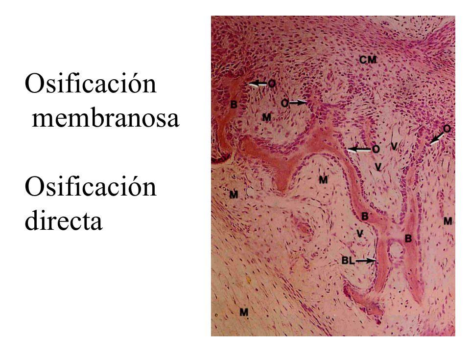 Osificación membranosa Osificación directa