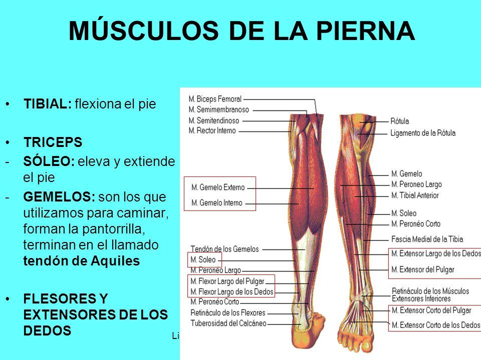 Lujo Músculos De La Pantorrilla Inspiración - Anatomía de Las ...