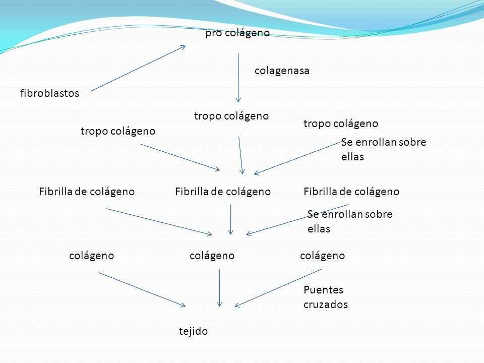 pro colágeno colagenasa. fibroblastos. tropo colágeno. tropo colágeno. tropo colágeno. Se enrollan sobre ellas.