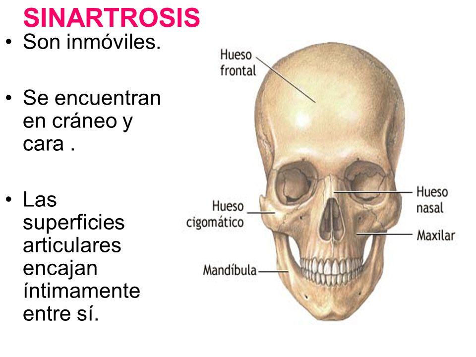 SINARTROSIS Son inmóviles. Se encuentran en cráneo y cara .