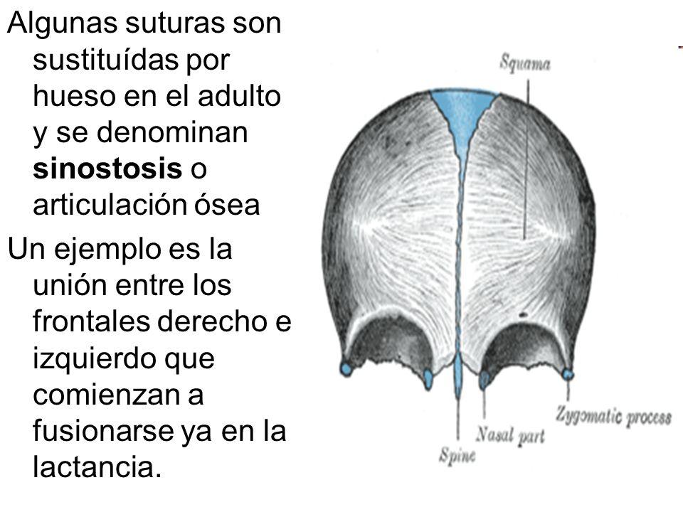Algunas suturas son sustituídas por hueso en el adulto y se denominan sinostosis o articulación ósea