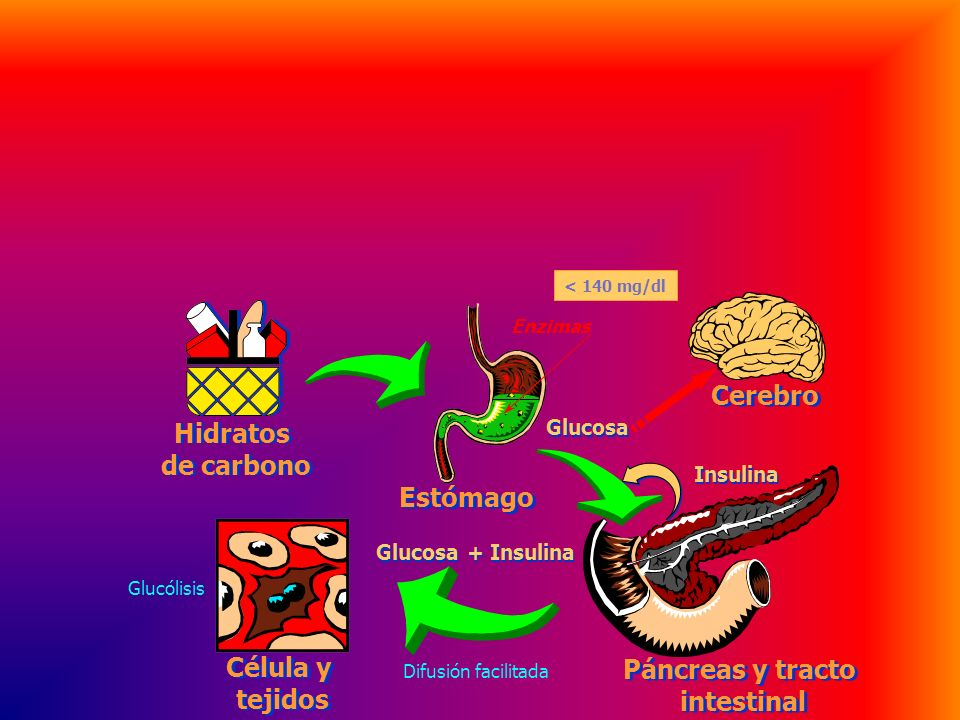 Cerebro Hidratos de carbono Estómago Célula y Páncreas y tracto