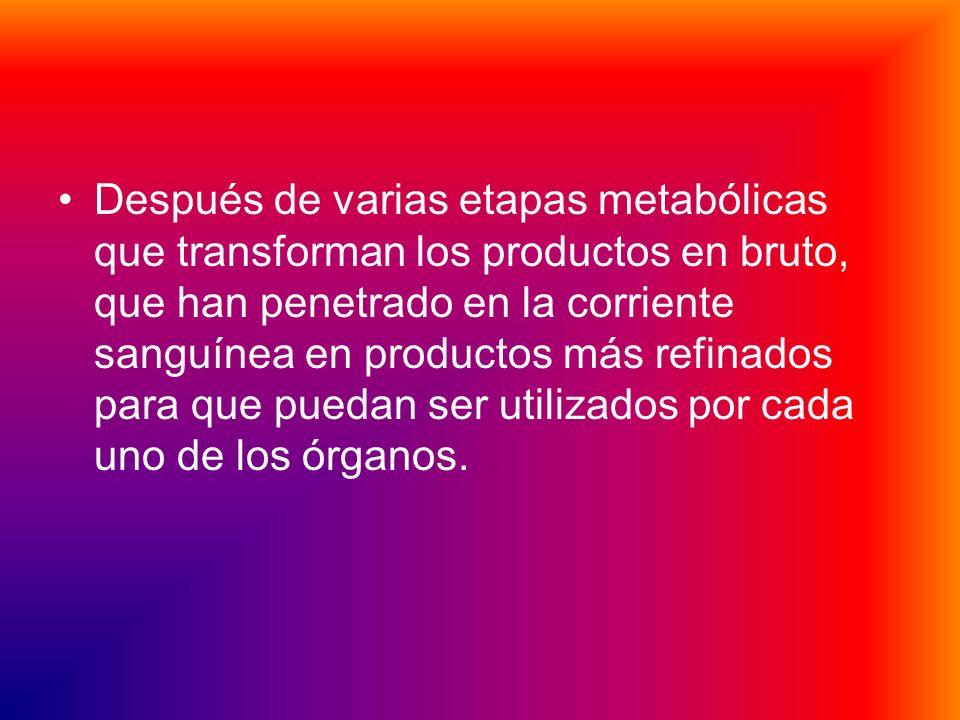 Después de varias etapas metabólicas que transforman los productos en bruto, que han penetrado en la corriente sanguínea en productos más refinados para que puedan ser utilizados por cada uno de los órganos.