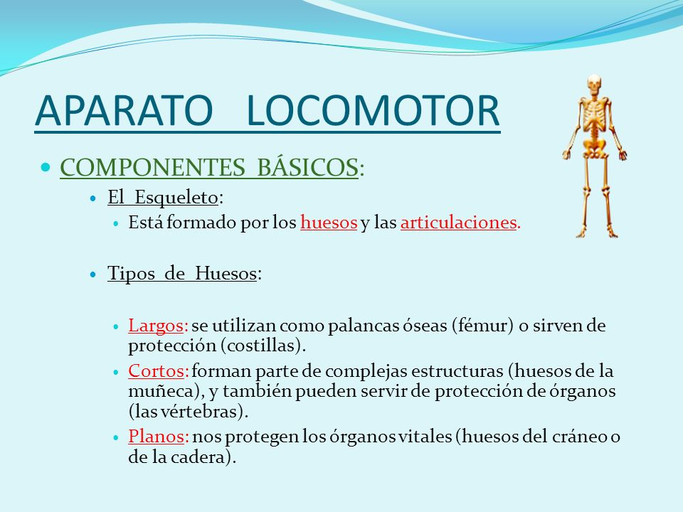APARATO LOCOMOTOR COMPONENTES BÁSICOS: El Esqueleto: Tipos de Huesos: