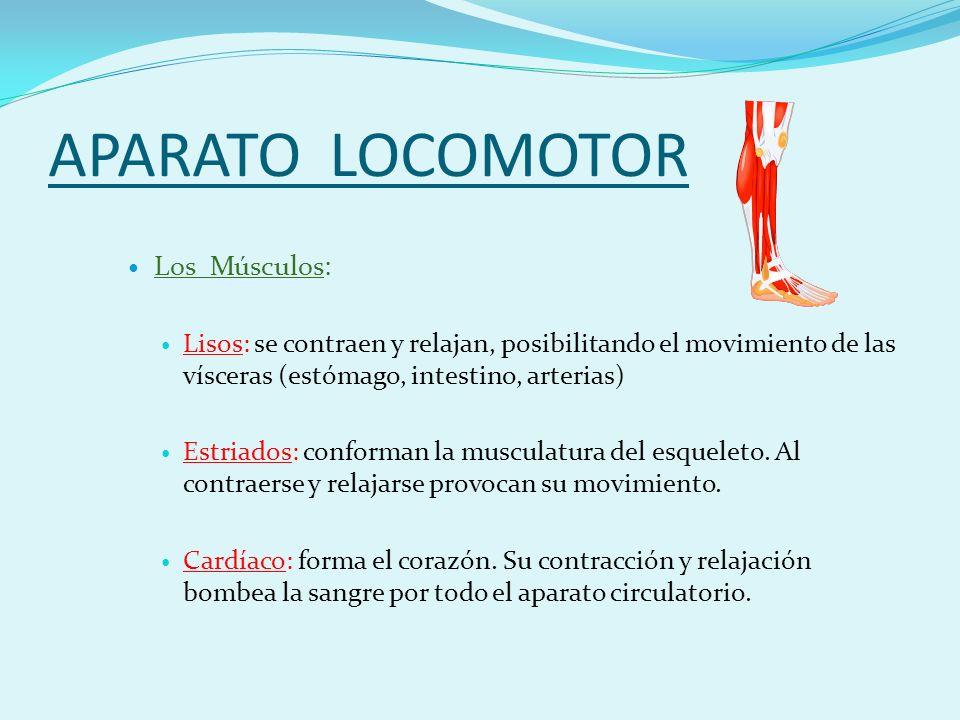 APARATO LOCOMOTOR Los Músculos: