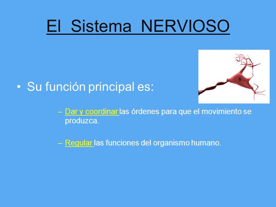 El Sistema NERVIOSO Su función principal es: