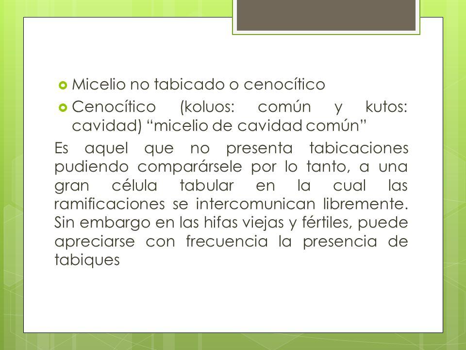 Micelio no tabicado o cenocítico