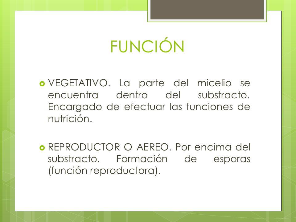 FUNCIÓN VEGETATIVO. La parte del micelio se encuentra dentro del substracto. Encargado de efectuar las funciones de nutrición.