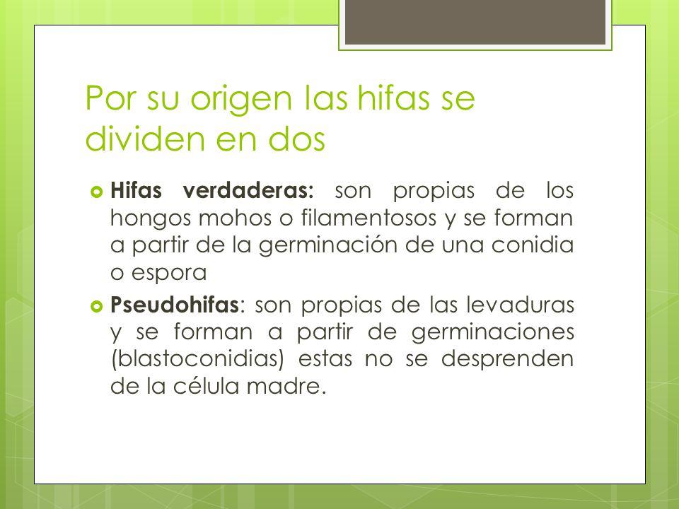 Por su origen las hifas se dividen en dos