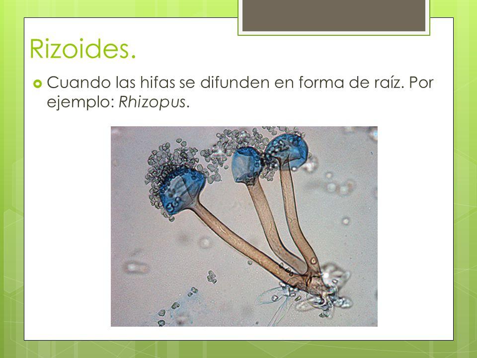 Rizoides. Cuando las hifas se difunden en forma de raíz. Por ejemplo: Rhizopus.