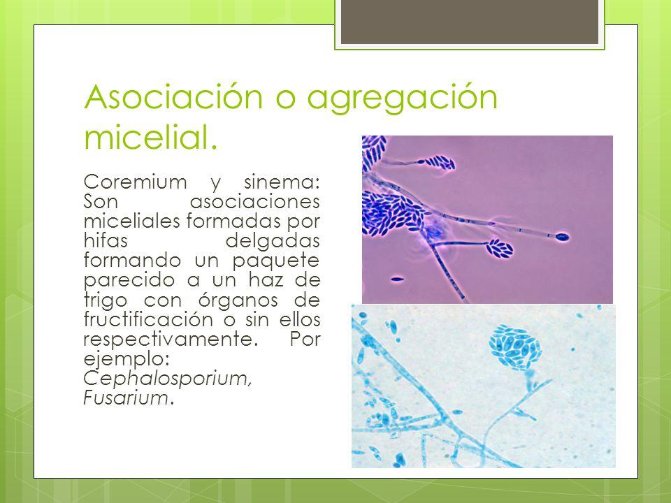 Asociación o agregación micelial.