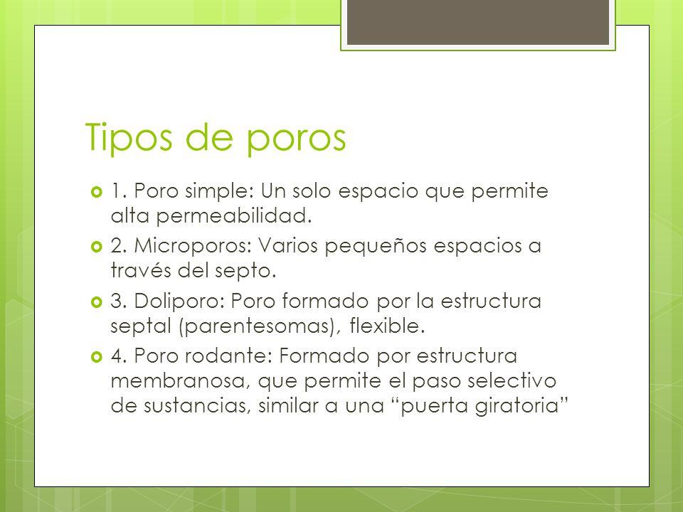 Tipos de poros 1. Poro simple: Un solo espacio que permite alta permeabilidad. 2. Microporos: Varios pequeños espacios a través del septo.