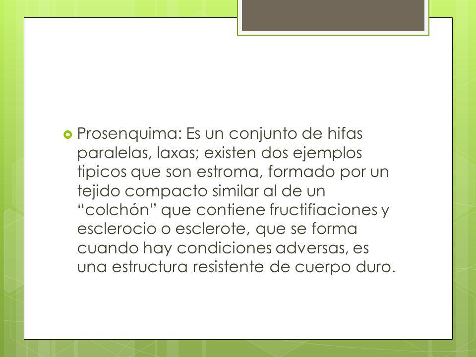 Prosenquima: Es un conjunto de hifas paralelas, laxas; existen dos ejemplos tipicos que son estroma, formado por un tejido compacto similar al de un colchón que contiene fructifiaciones y esclerocio o esclerote, que se forma cuando hay condiciones adversas, es una estructura resistente de cuerpo duro.