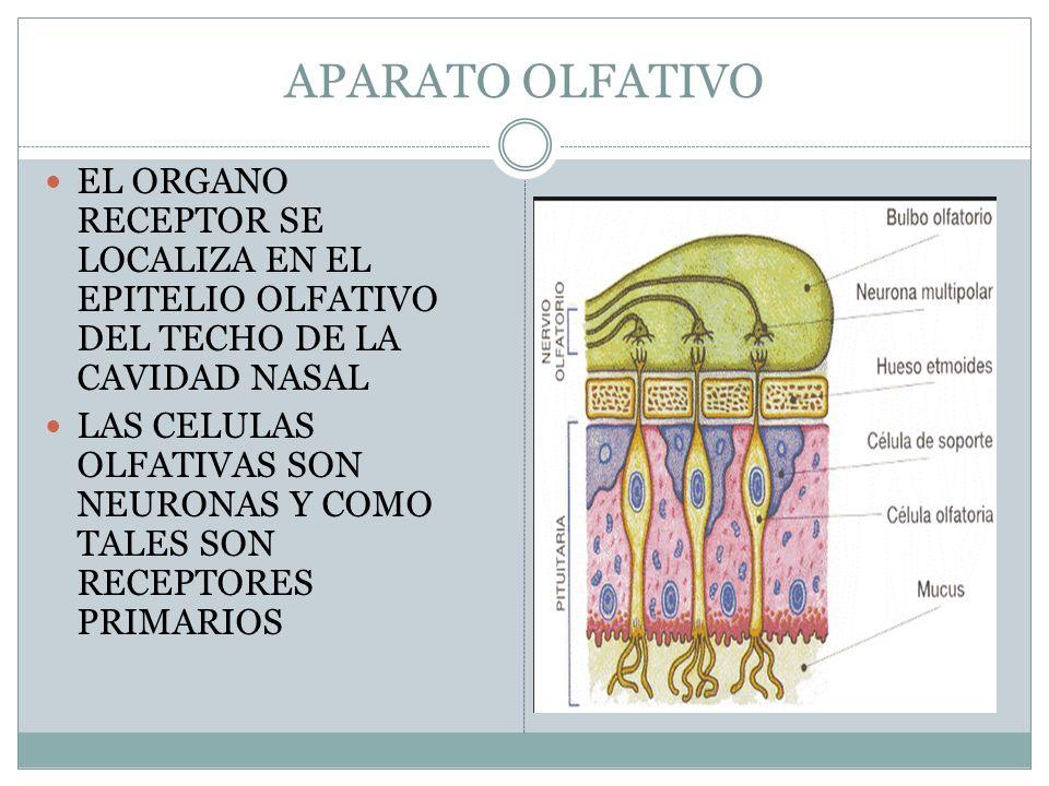 APARATO OLFATIVO EL ORGANO RECEPTOR SE LOCALIZA EN EL EPITELIO OLFATIVO DEL TECHO DE LA CAVIDAD NASAL.