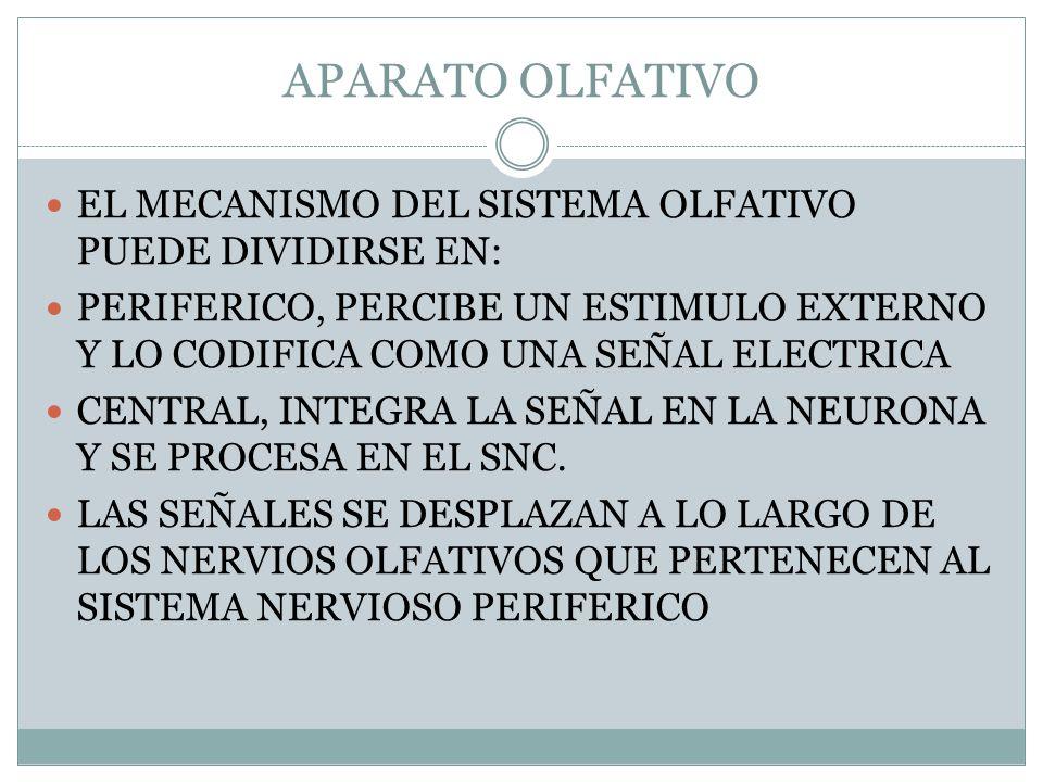 APARATO OLFATIVO EL MECANISMO DEL SISTEMA OLFATIVO PUEDE DIVIDIRSE EN: