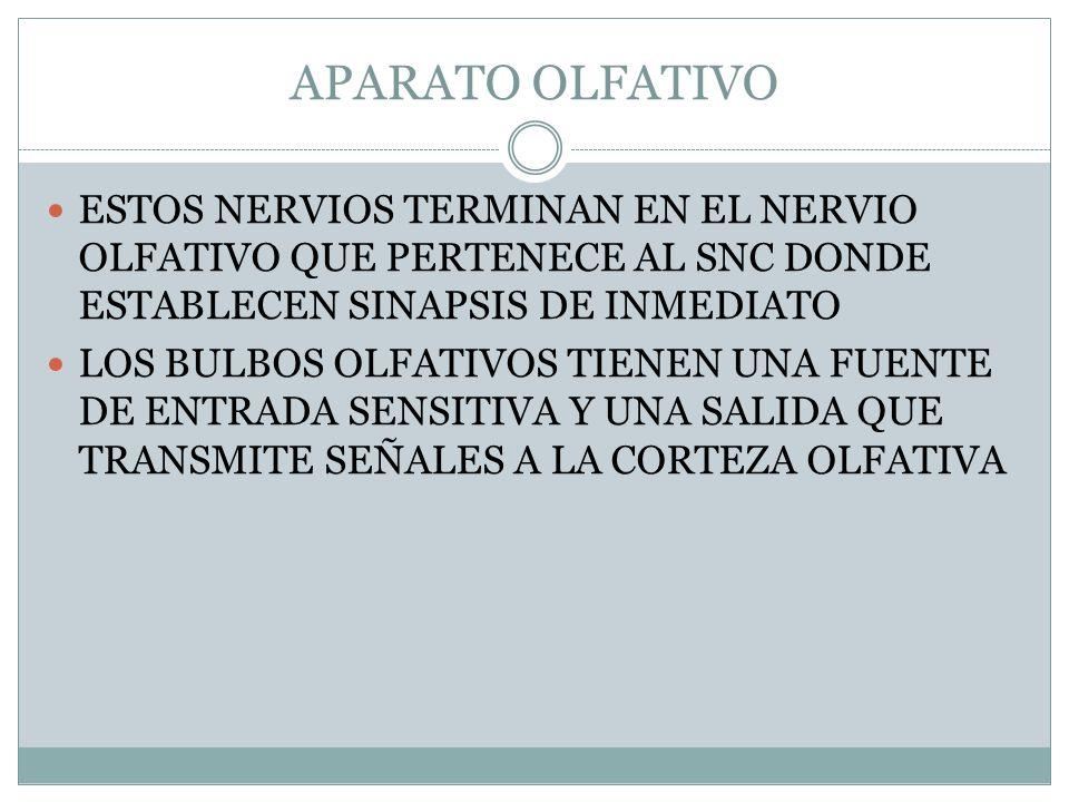APARATO OLFATIVO ESTOS NERVIOS TERMINAN EN EL NERVIO OLFATIVO QUE PERTENECE AL SNC DONDE ESTABLECEN SINAPSIS DE INMEDIATO.