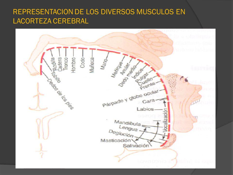 REPRESENTACION DE LOS DIVERSOS MUSCULOS EN LACORTEZA CEREBRAL