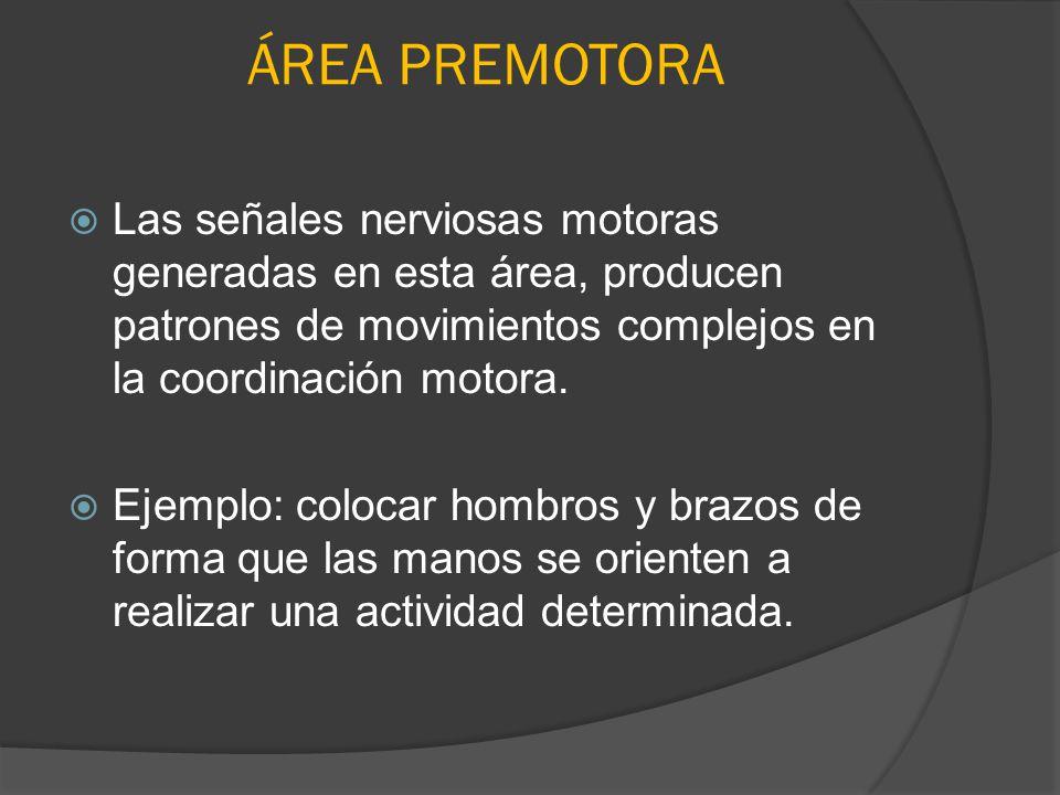 ÁREA PREMOTORA Las señales nerviosas motoras generadas en esta área, producen patrones de movimientos complejos en la coordinación motora.