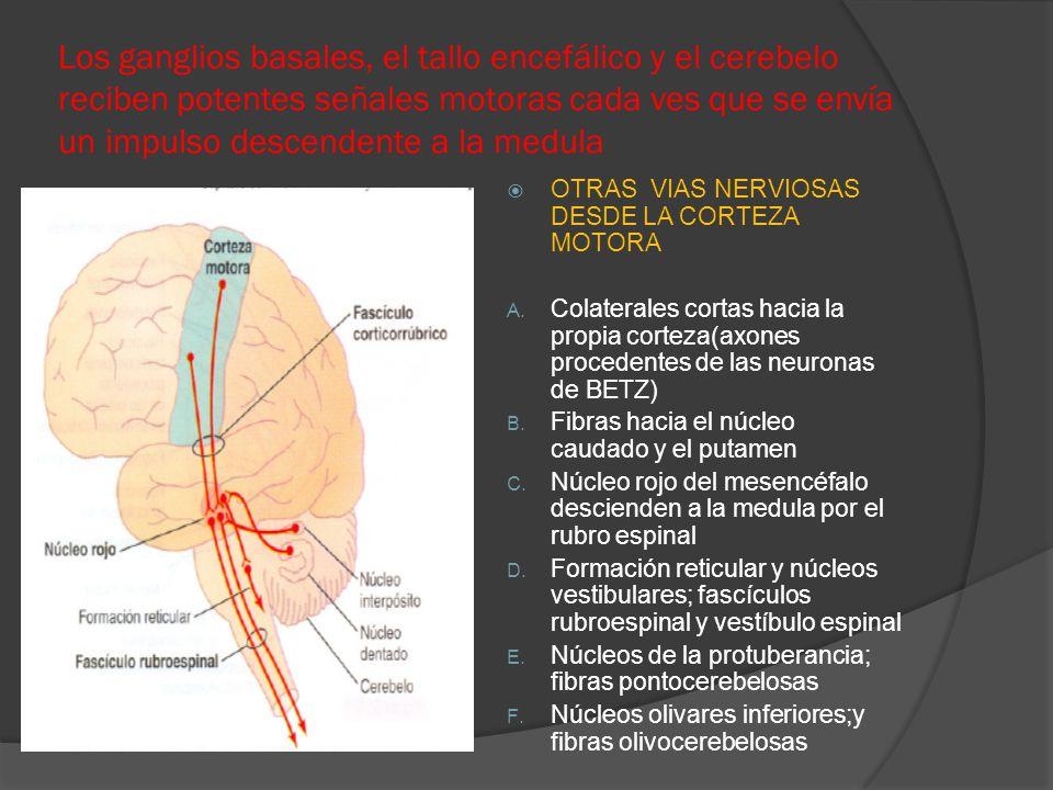 Los ganglios basales, el tallo encefálico y el cerebelo reciben potentes señales motoras cada ves que se envía un impulso descendente a la medula
