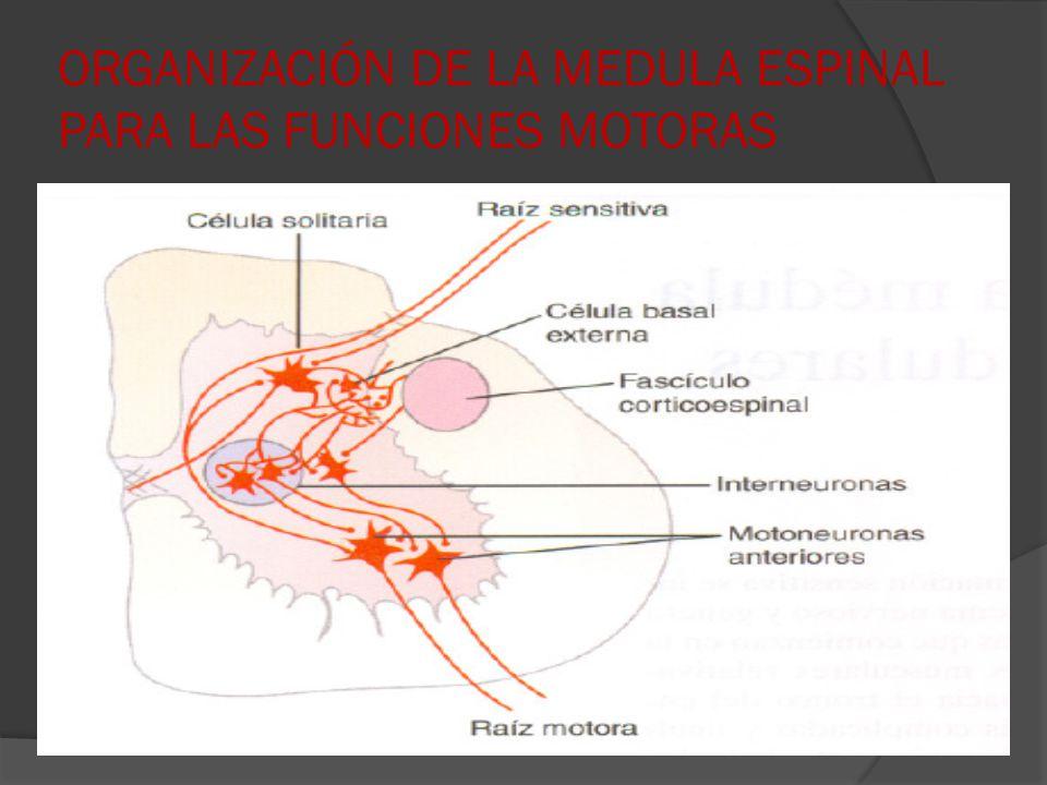 ORGANIZACIÓN DE LA MEDULA ESPINAL PARA LAS FUNCIONES MOTORAS
