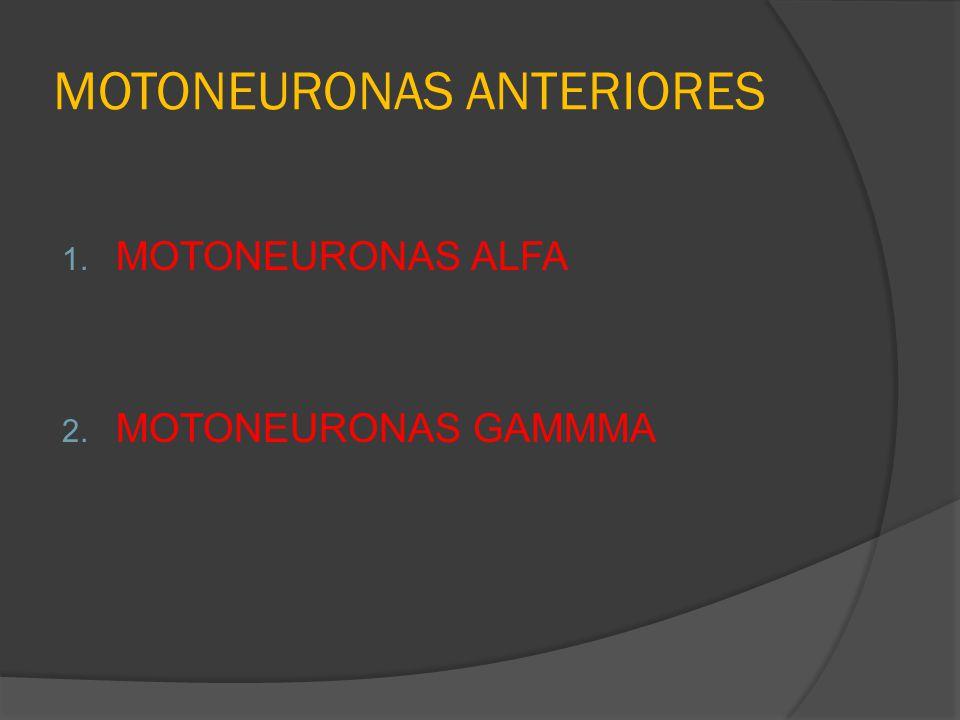 MOTONEURONAS ANTERIORES