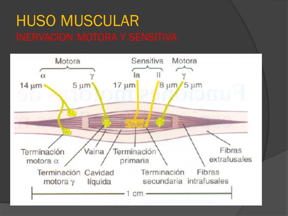 HUSO MUSCULAR INERVACION MOTORA Y SENSITIVA