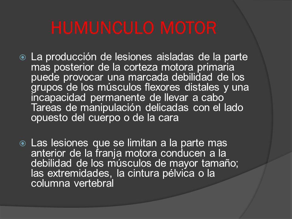 HUMUNCULO MOTOR
