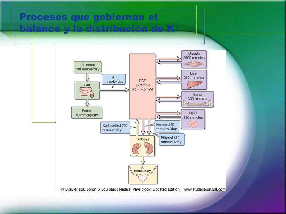 Procesos que gobiernan el balance y la distribución de K⁺