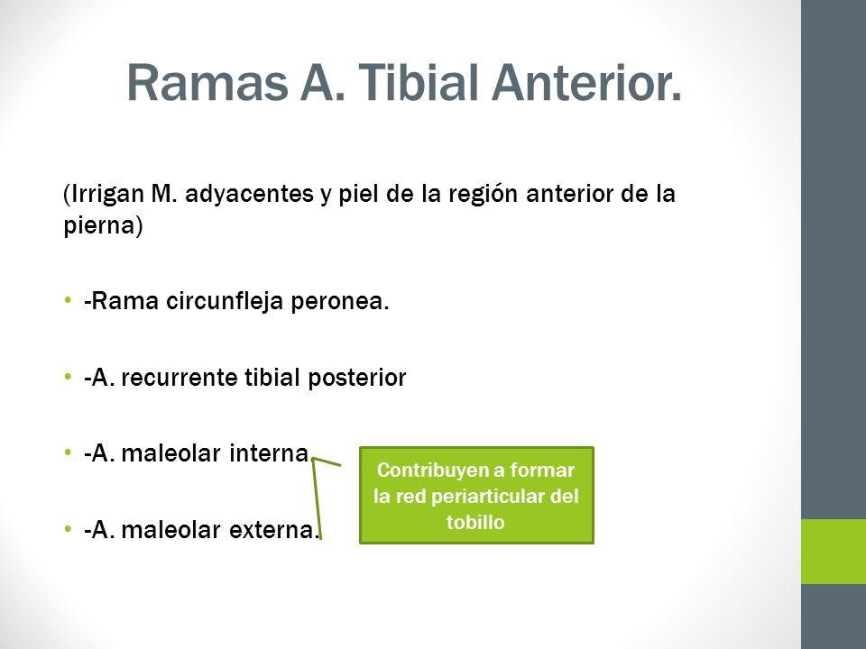 Ramas A. Tibial Anterior.