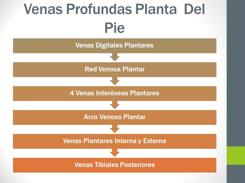 Venas Profundas Planta Del Pie