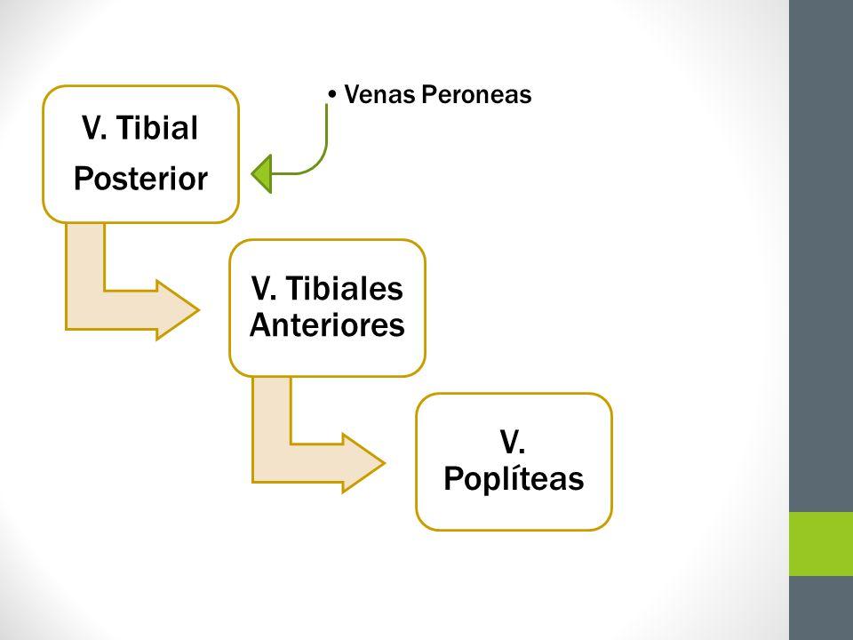 V. Tibial Posterior Venas Peroneas V. Tibiales Anteriores V. Poplíteas