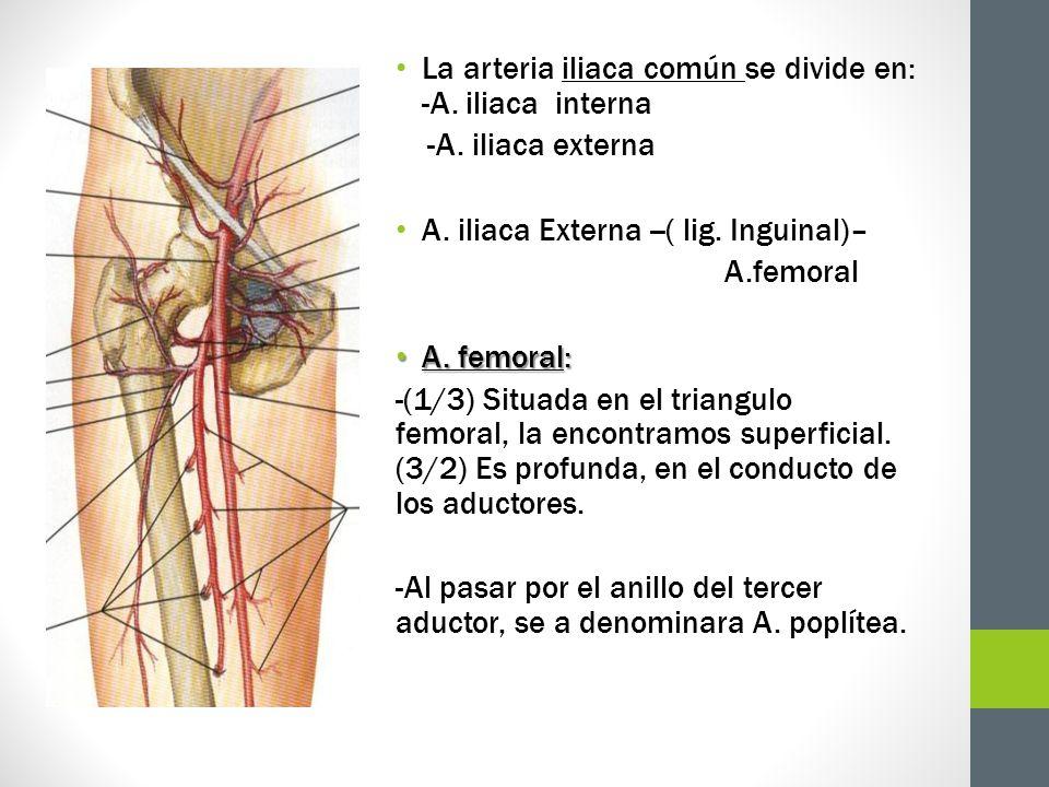 La arteria iliaca común se divide en: -A. iliaca interna