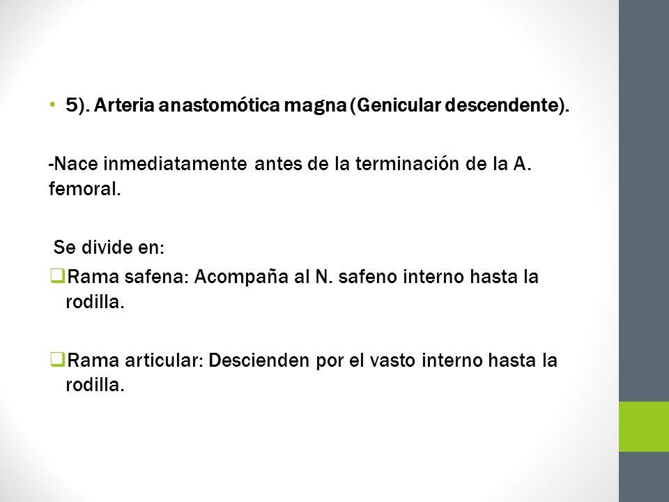 5). Arteria anastomótica magna (Genicular descendente).