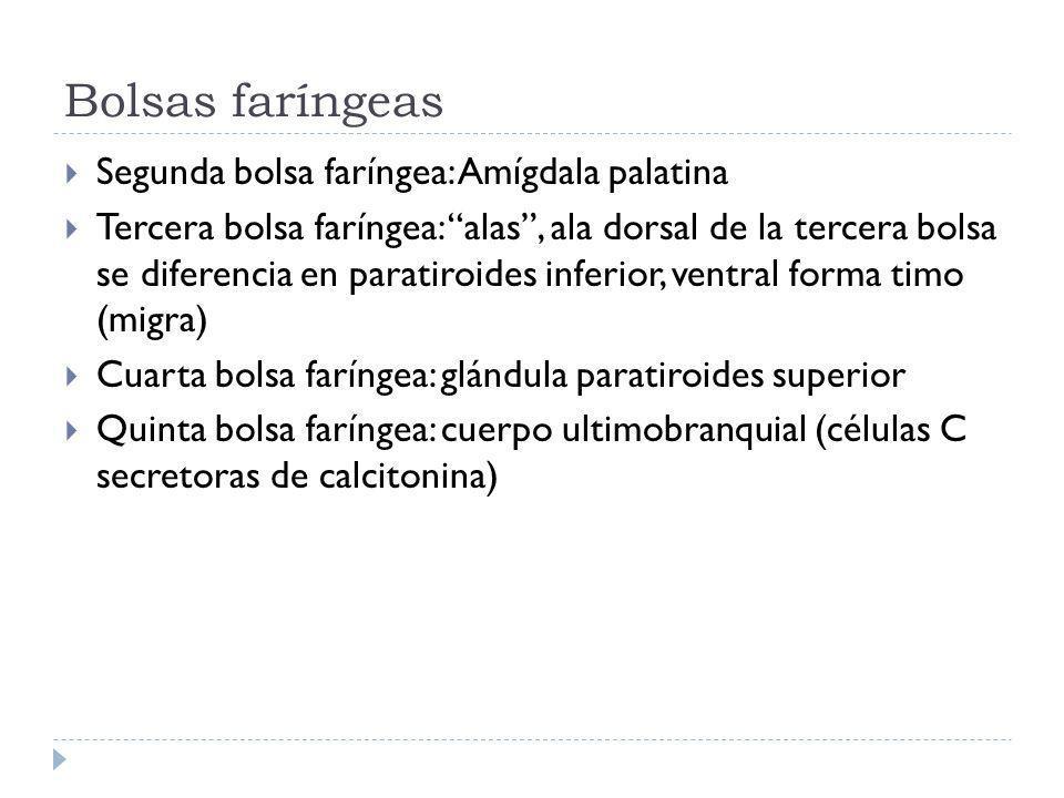 Bolsas faríngeas Segunda bolsa faríngea: Amígdala palatina
