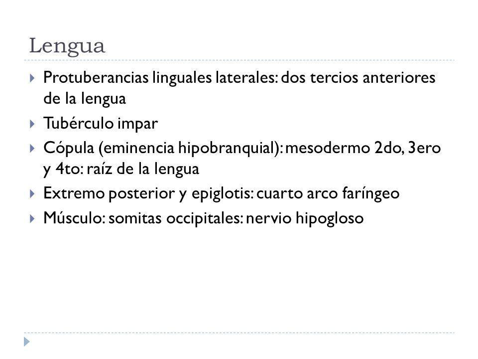 Lengua Protuberancias linguales laterales: dos tercios anteriores de la lengua. Tubérculo impar.