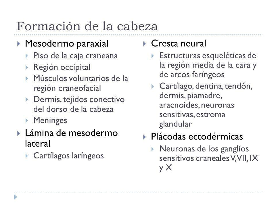 Formación de la cabeza Mesodermo paraxial Cresta neural