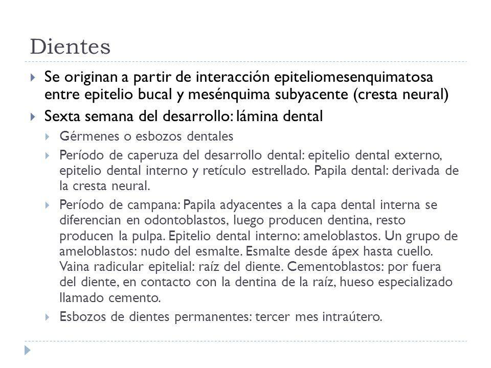 Dientes Se originan a partir de interacción epiteliomesenquimatosa entre epitelio bucal y mesénquima subyacente (cresta neural)