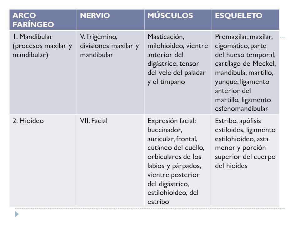 ARCO FARÍNGEO NERVIO. MÚSCULOS. ESQUELETO. 1. Mandibular (procesos maxilar y mandibular) V. Trigémino, divisiones maxilar y mandibular.