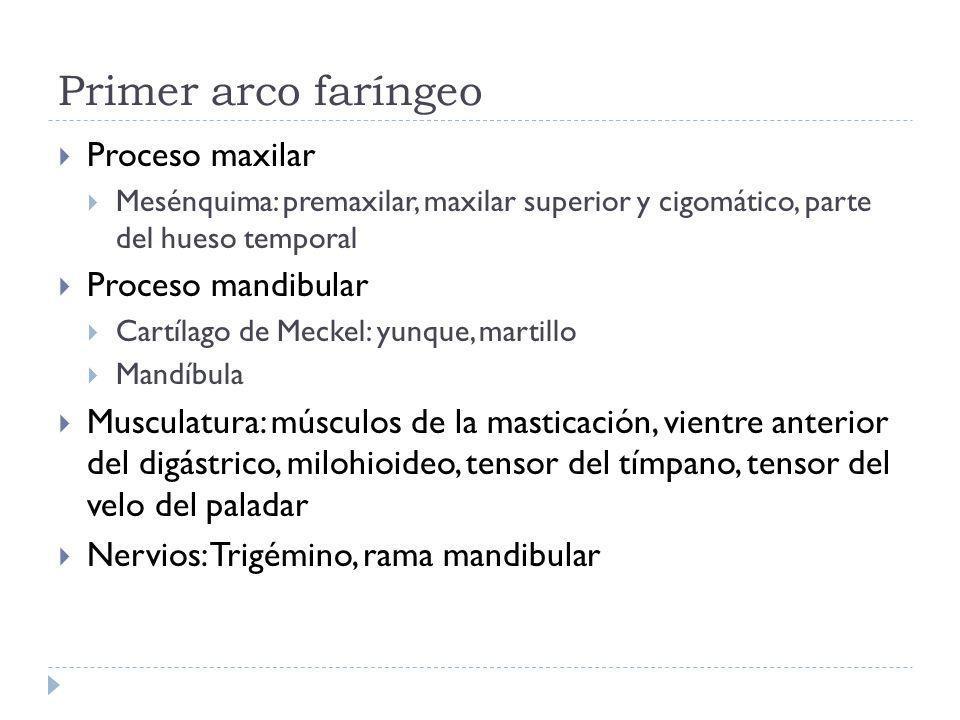 Primer arco faríngeo Proceso maxilar Proceso mandibular