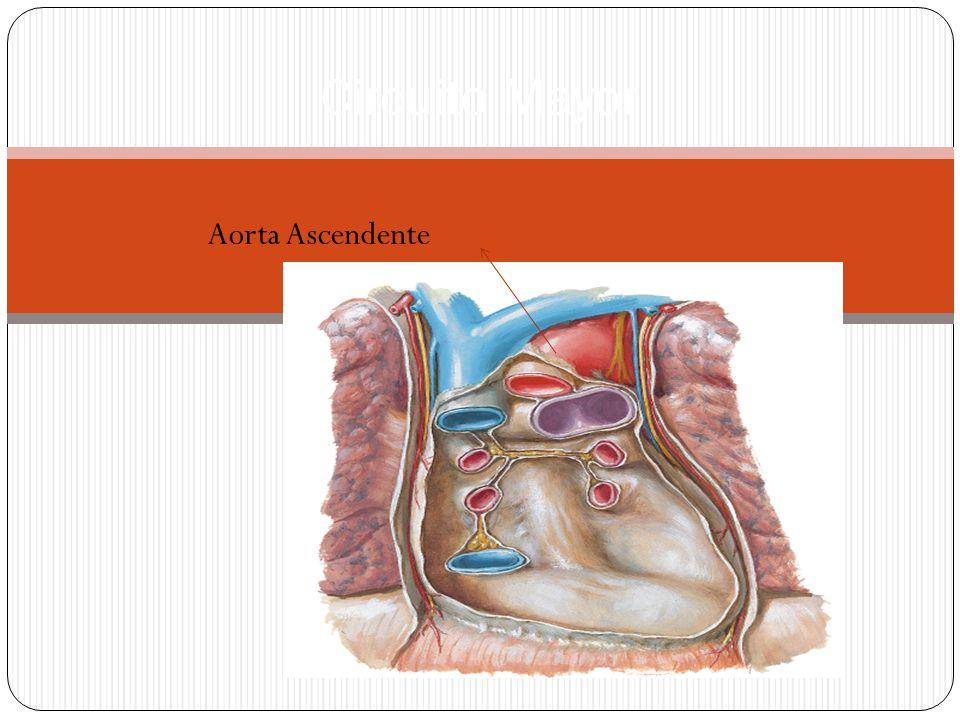 Circuito Mayor Aorta Ascendente