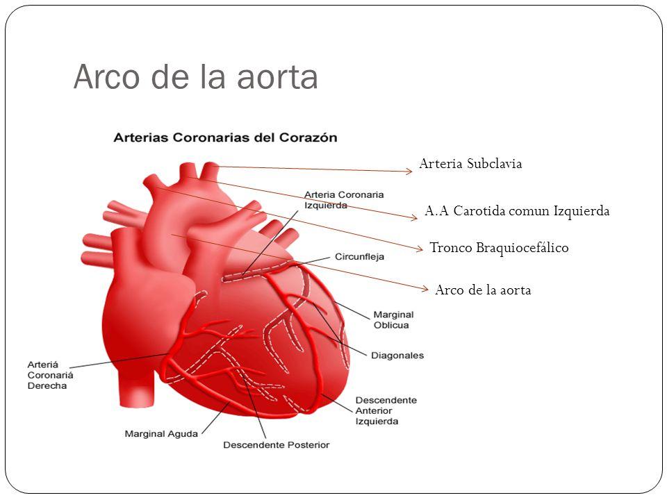 Arco de la aorta Arteria Subclavia A.A Carotida comun Izquierda