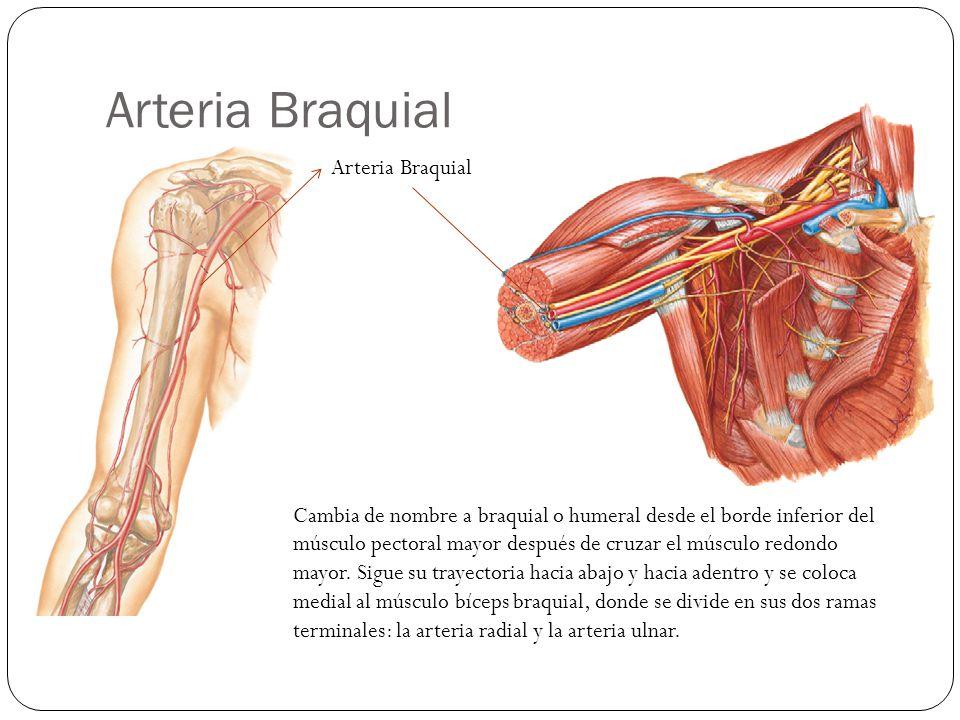 Arteria Braquial Arteria Braquial