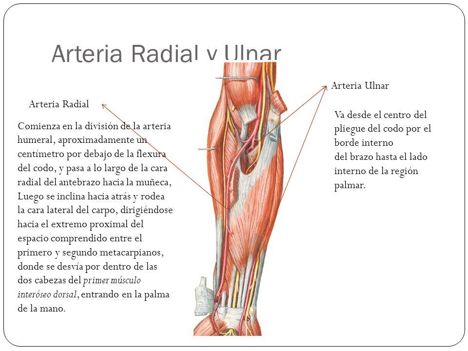 Arteria Radial y Ulnar Arteria Ulnar Arteria Radial