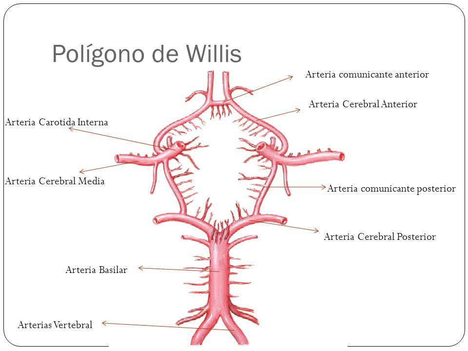 Polígono de Willis Arteria comunicante anterior