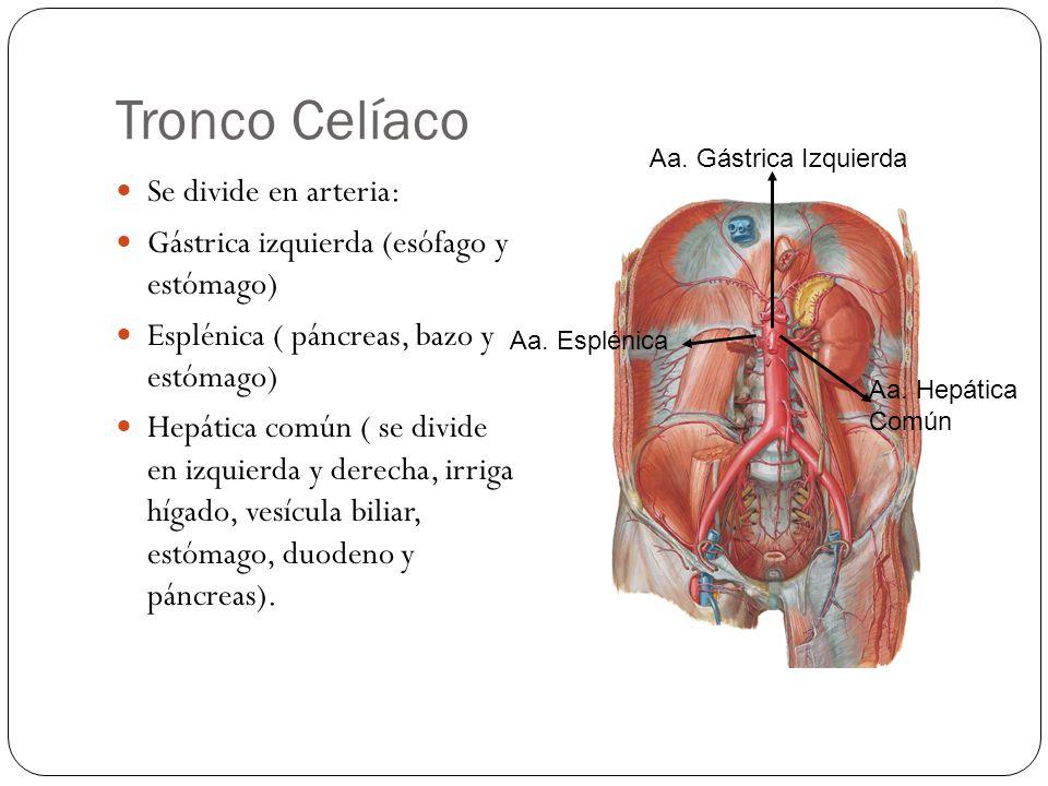 Tronco Celíaco Se divide en arteria: