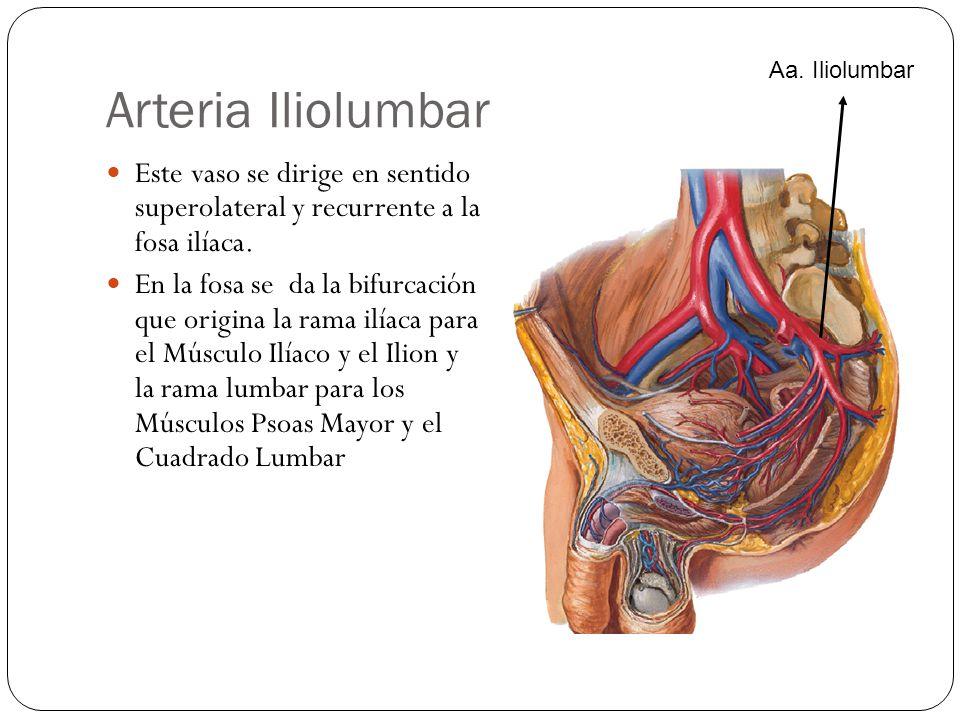 Arteria Iliolumbar Aa. Iliolumbar. Este vaso se dirige en sentido superolateral y recurrente a la fosa ilíaca.