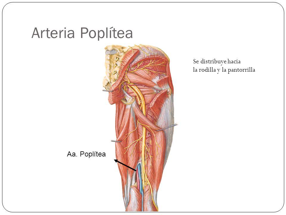 Arteria Poplítea Se distribuye hacia la rodilla y la pantorrilla